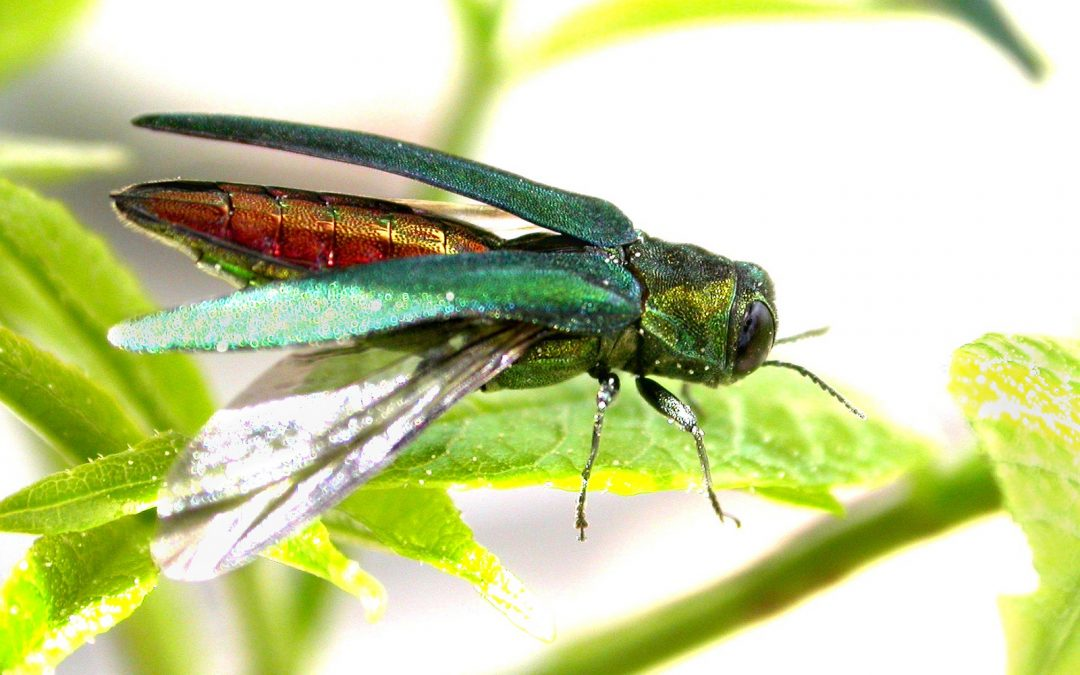 Protect Your Ash Trees From Emerald Ash Borer Beetles